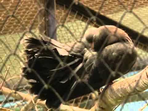 видео: Где прячутся маленькие голуби