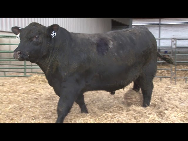 Schiefelbein Angus Farms Lot 258
