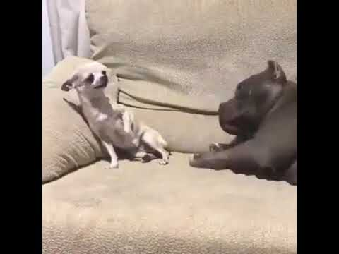 Pitbull vs chihuahua ¿Quién es más agresivo?