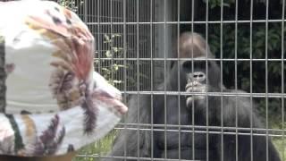 日本モンキーセンターの赤ちゃんチンパンジー、マモル 1歳の誕生会で見...