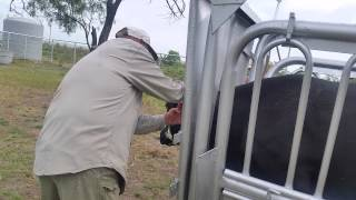 My 1st experience with tagging cattle