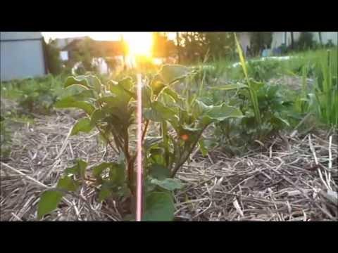 7. Ленивое земледелие. Посадка картофеля.