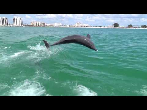 Clearwater FL Dolphin Tours | Dolphin Sightings | Little Toot