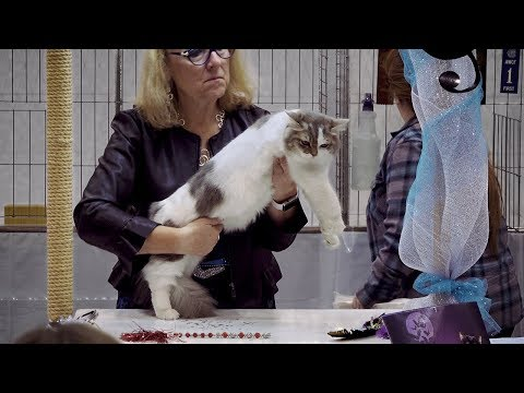 CFA International Cat Show 2018 - Ragamuffin kitten class judging