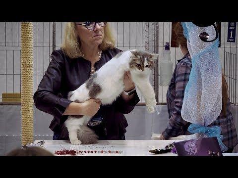 CFA International Cat Show 2018 - Ragamuffin kitten class judging