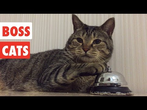 Thumbnail: Boss Cats | Funny Cat Video Compilation 2017