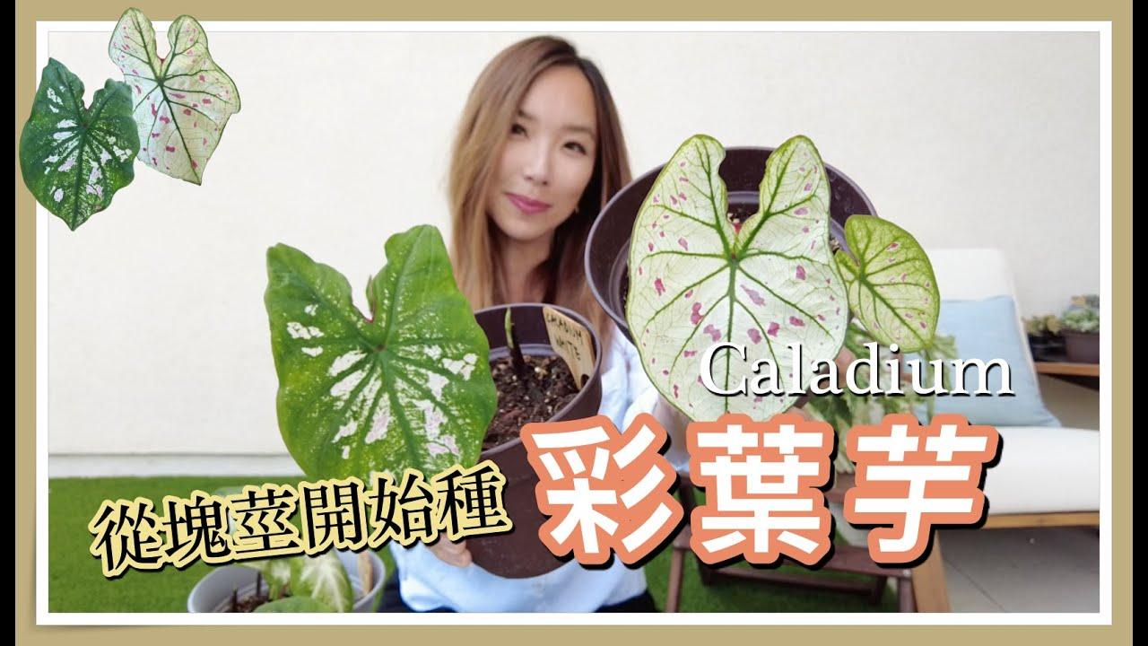 植物界時尚大師彩葉芋,從塊莖開始種!|徐豫御姊愛