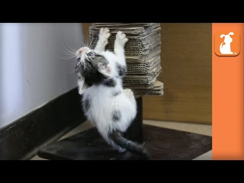 Kittens Use Scratching Post And Fall Over Alot! - Kitten Love