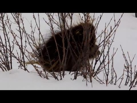 baby-porcupine-aggressively-eats-away-in-calgary-winter