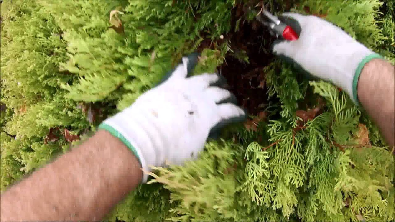Thuja Rheingold How To Prune Rheingold Arborvitae With A Natural Look