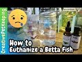 How to Humanely Euthanize a Betta Fish 🐟 Different Methods