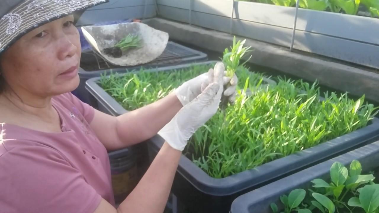 Chia sẻ cách trồng rau muống hột , giống  như trồng cải Bẹ Xanh 15/11/2019 | Khoa Hien 248