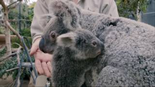 Lucunya Kemesraan Ibu dan Anak Koala ini