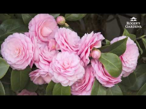 Gardening 101 Series | How to Plant & Maintain a Camellia