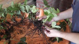 Размножение садовой земляники (клубники) рожками. Часть 1.(Выращивание садовой земляники . Размножение садовой земляники (клубники) рожками. Хорошая альтернатива..., 2016-05-16T05:55:05.000Z)