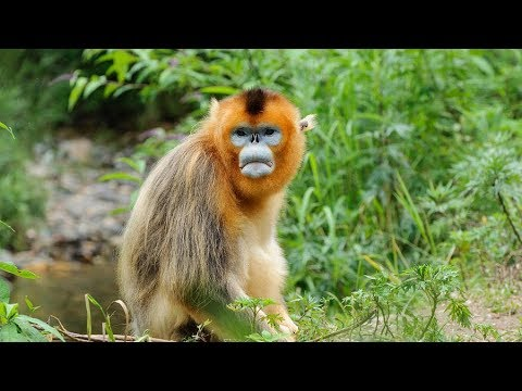 Meet adorable snub-nosed monkeys in Shennongjia, a UNESCO world heritage site in China (Part 1)