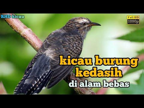 Download Suara Burung Kedasih Sangat Merdu Penuh Magic Mp3 4 1 Mb Kicau Siburung Com