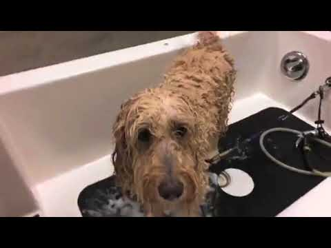 Helpful Grooming Tips For Doodle Owners Brushing Bathing