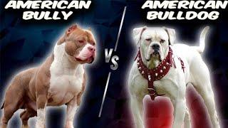 American Bully VS American Bulldog  Comparison