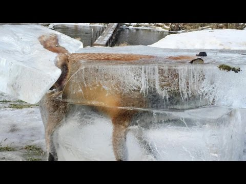 man finds fox frozen in river youtube