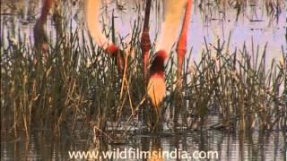 Pair of Sarus crane digging into the wetlands of Uttar Pradesh
