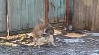 Любовные игры собак