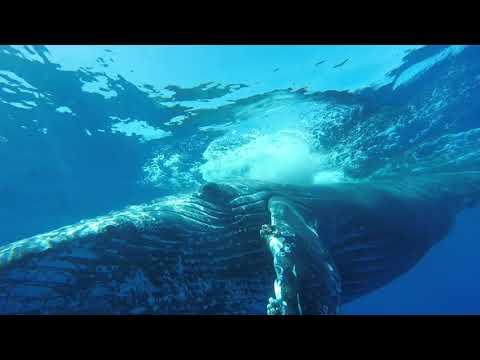 Baleines à bosse (+ chants + dauphins) Ile de la Reunion 2017