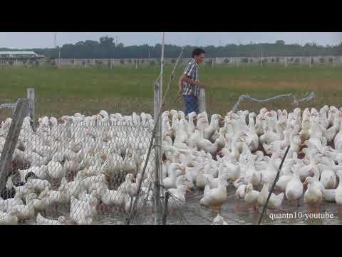 Duck farming in small village in Vietnam part 3