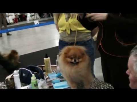 Как получить разводную оценку собаке без выставки