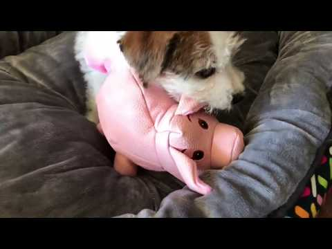 Hiccup the JRT puppy playing with his Kong Phatz