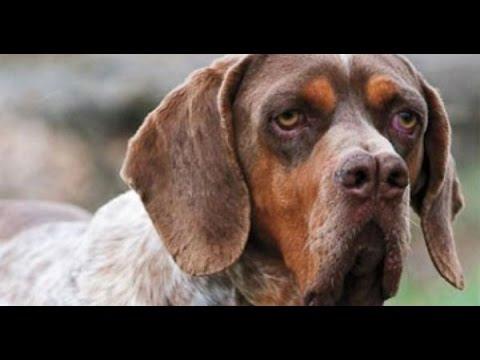 Perdiguero de Burgos (Burgos Pointer dog) – Raza de Perros