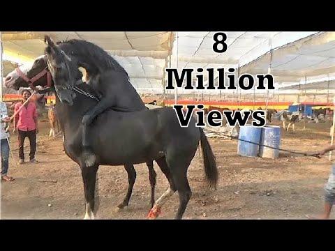 Naughty foal - Colt : Indian Marwari Baby Horse Playing At Sarangkheda Horse Market Fair 2018