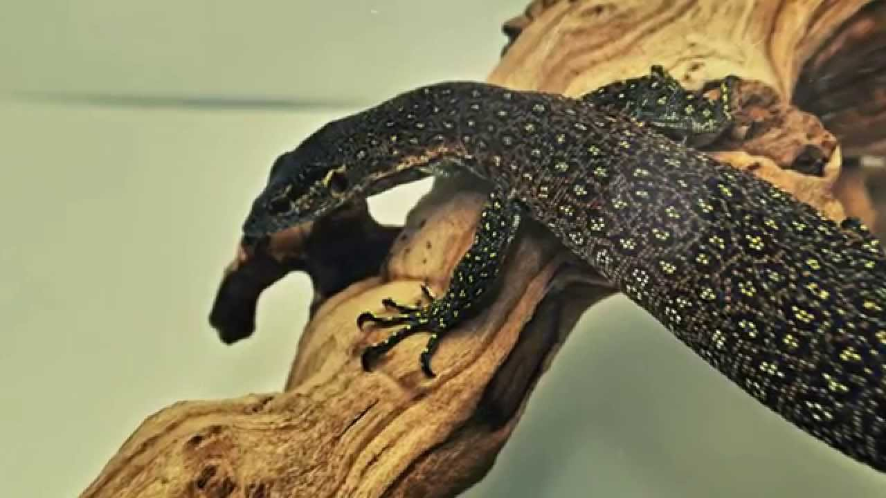 Blue Spotted Timor Monitor for Sale