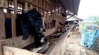 Pakan kambing dri ampas tahu