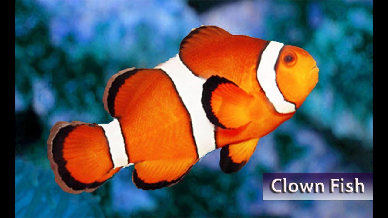 Best Clownfish Varieties for Home Aquariums - YouTube