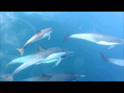 Short-Beaked Common-Dolphin (Delphinus delphis) off Southern California Coast