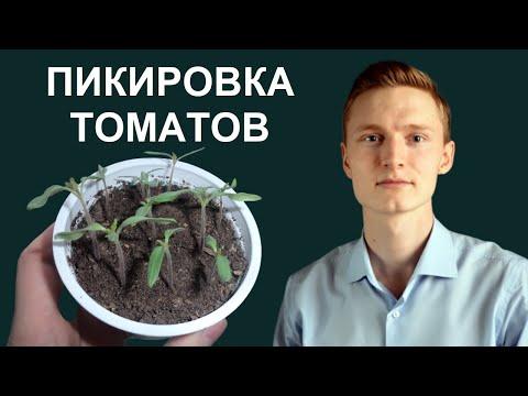 ПИКИРОВКА (ПЕРЕСАДКА) рассады ТОМАТОВ. Как правильно ПИКИРОВАТЬ помидоры в отдельные горшочки