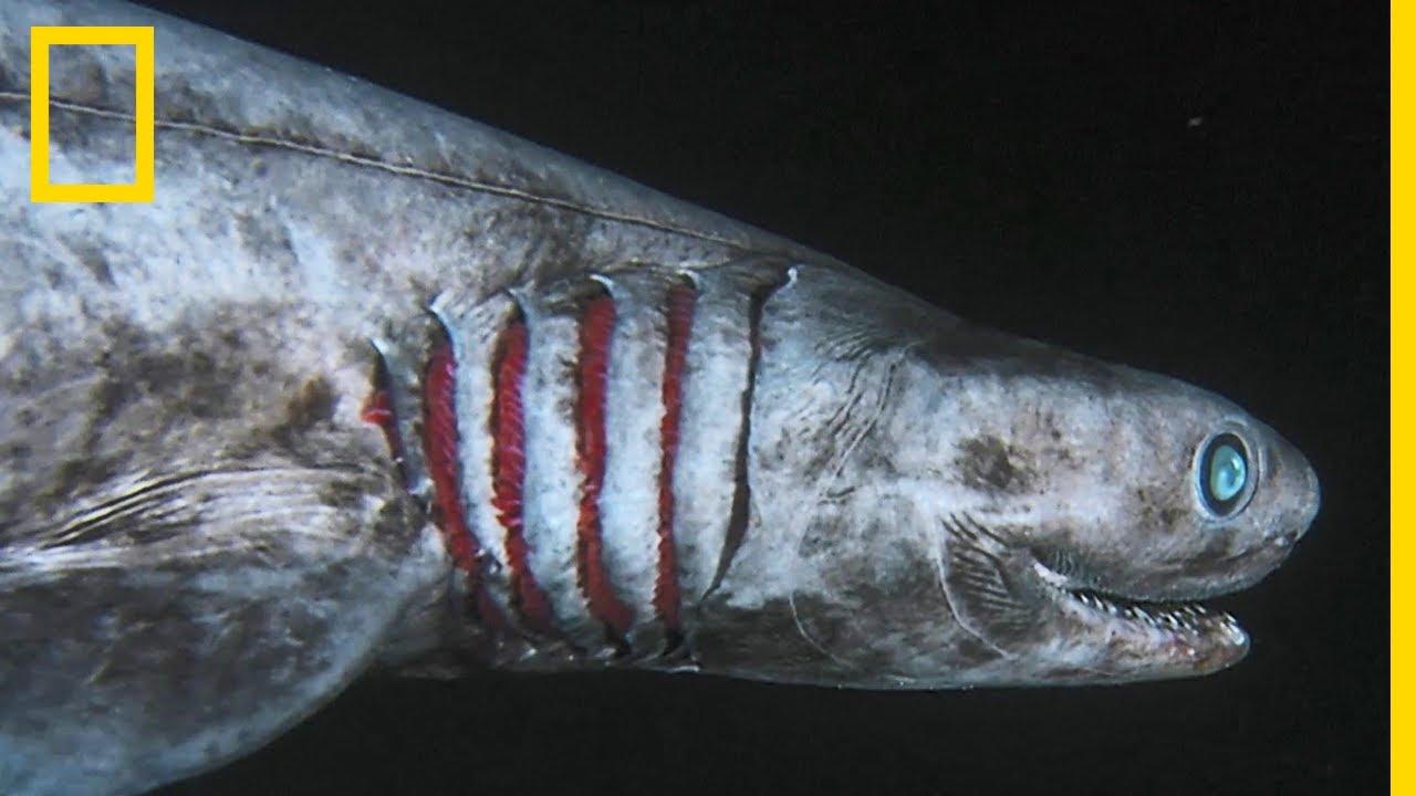 Le requin frangé, sorti tout droit de vos pires cauchemars