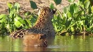 Jaguar attacks capybara