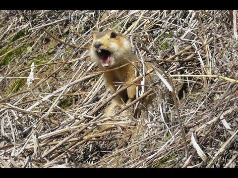 Суслик кричит. ( Spermophilus major )