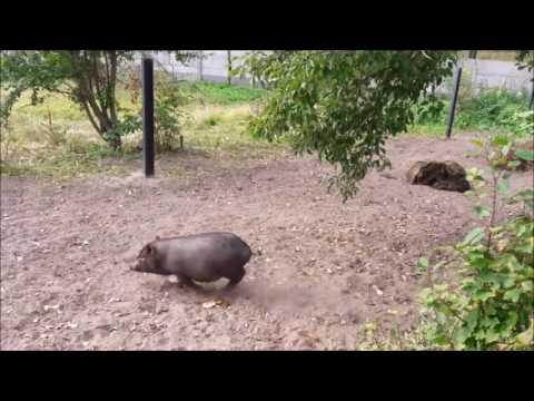 Заработок на вьетнамских свиньях в рб.за год