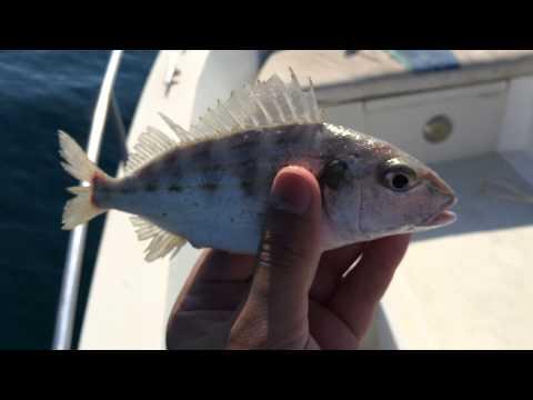صوت سمك اليميام - Croaker Fish Sound