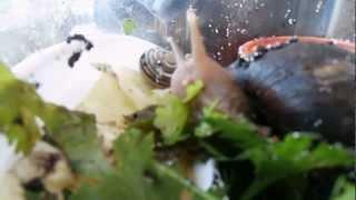 Муж кормит Ахатина Фулика (Achatina fulica) Завтрак на балконе