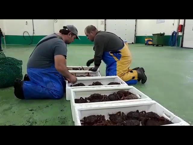 Primera subasta de centollas, nécoras y camarón en Burela