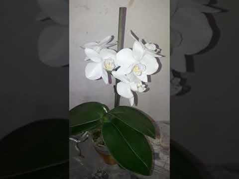 Орхидеи , продажа 🌸Цветочек🌸 P. Amabilis ' Tia Wu' первое домашнее цветение,полный роспуск