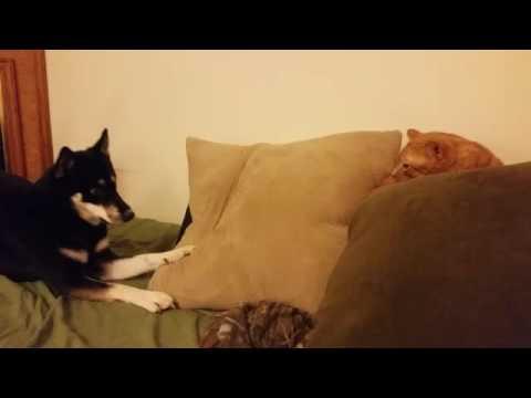 Husky Shiba annoying cat