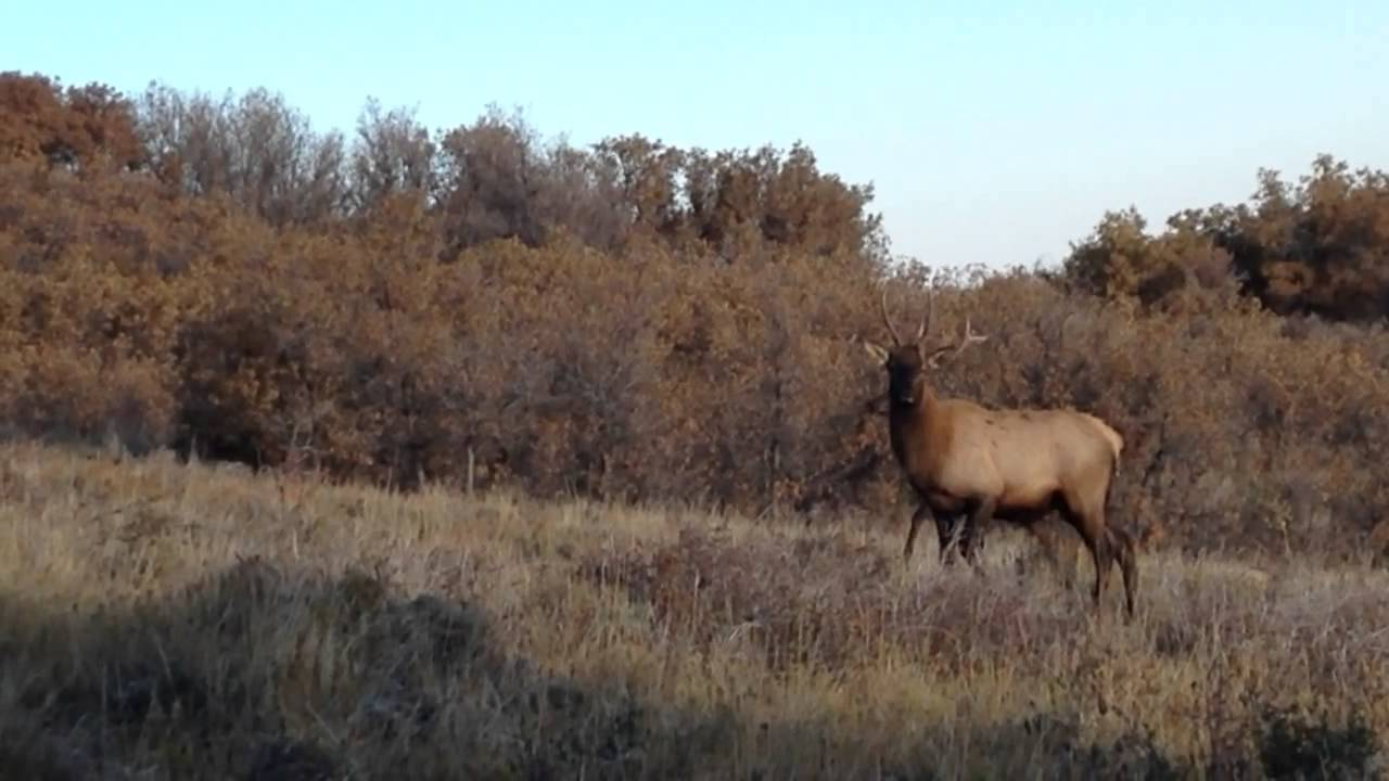 Two Curious Bull Elk Come Into Primos Baby Hoochie Mama Call Youtube Free how to use the primos hoochie mama cow elk call mp3. two curious bull elk come into primos baby hoochie mama call