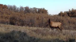 Two curious bull elk come into Primos Baby Hoochie Mama call!