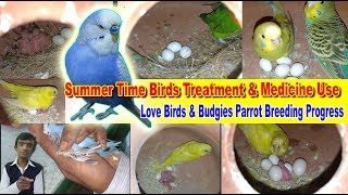 Summer Time Birds Treatment & Medicine Use // Love Birds & Budgies Parrot Breeding Progress