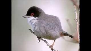 Sardinian warbler - Kleine Zwartkop - ( Male )